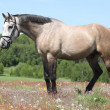 Beautiful grey horse with bridle in flowered nature — Stock Photo #47838659