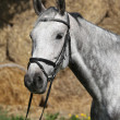 Portrait of beautiful grey horse with bridle — Stock Photo #47838855