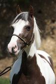 Portrait of beautiful skewbald pony — Stock Photo