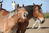 Nice draft horses boring in paddock together — Stock Photo