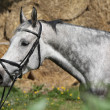 Portrait of beautiful grey horse with bridle — Stock Photo #47900143