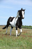 Gorgeous paint horse running on flowered pasturage — Stock Photo