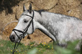 Portrait of beautiful grey horse with bridle — Stock Photo