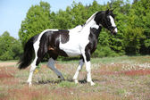 Beautiful skewbald stallion with nice haircut — Stock Photo