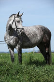 Nice grey pony with bridle standing in the grass — Stock Photo