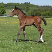 Beautiful filly on pasturage — Stock Photo