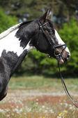 Portrait of beautiful skewbald stallion with perfect haircut — Stock Photo