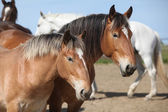 Nice draft horses looking at you — Stock Photo