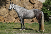 Amazing grey horse with bridle — Stock Photo