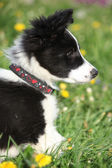 Nice puppy of border collie in flowers — Stock Photo