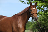 Nice brown horse with white star on head — Stock Photo