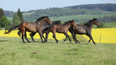 Brown horses running in group — Stock Photo