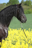 Gorgeous black friesian horse in colza field — Stock Photo