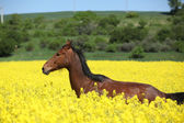 Güzel kahverengi at çalışan sarı çiçek — Stok fotoğraf