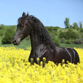 Amazing friesian horse running in colza field — Stock Photo