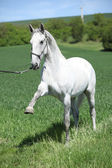 White lipizzaner showing itself — Stock Photo
