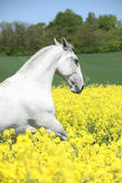 White lipizzaner in colza field — Stock Photo