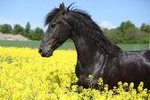 Amazing friesian horse running in colza field — Stock Photo