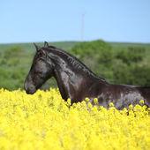 Amazing friesian horse running in colza field — ストック写真