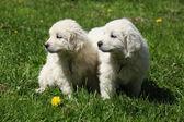Two puppies of Slovakian chuvach — ストック写真
