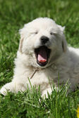 Amazing white puppy of Slovakian chuvach lying in the grass — ストック写真