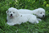Amazing white puppies of Slovakian chuvach lying in the grass — ストック写真
