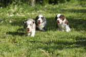 Amazing puppies of Bearded Collie — Stock Photo