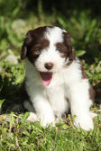 Beautiful bearded collie — Stock Photo