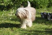 Bearded Collie running in the garden — 图库照片