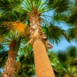 Stock Photo: Trunk of palm trees with green leaves at top