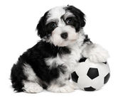 Cute havanese puppy dog with a soccer ball — Stock Photo