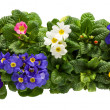 Stock Photo: A sets of Primulas from above