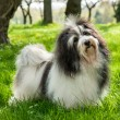 Cute Havanese dog in a beautiful sunny grassy field - Stock Photo
