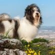 Cute Havanese dog on a rocky mountain, beneath a city - Stock Photo