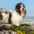 Cute Havanese dog on rocky mountain, beneath city — Stock Photo #25169089