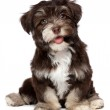A beautiful smiling chocholate havanese puppy dog — Stock Photo