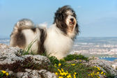 Cute Havanese dog on a rocky mountain, beneath a city — Stock Photo