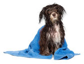 Wet dark chocolate havanese puppy dog after bath — Stock Photo