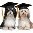 Two eminent graduation havanese dogs wit cap — Stock Photo #26040773
