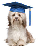 Cute eminent graduation havanese dog wit blue cap — Stock Photo