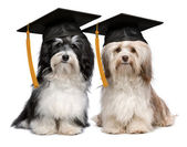 Two eminent graduation havanese dogs wit cap — Stock Photo