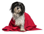 Wet black and white havanese dog after bath — Stock Photo