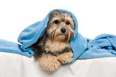 Cute lying tricolor Havanese dog in a bed — Stock Photo