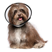 Happy havanese dog is recovering and wearing a funnel collar — Stock Photo