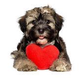 Lover Valentine Havanese puppy dog — Stock Photo