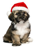 Cute Christmas Havanese puppy dog with a Santa hat — Zdjęcie stockowe