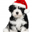 Cute Christmas Havanese puppy dog with a Santa hat — Stock Photo