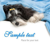 Cute Havanese dog is lying in bed — Stock Photo