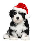 Weihnachten havaneser welpen hund hübsch mit einer nikolausmütze — Stockfoto