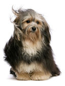 Cute tricolor Havanese dog is sitting in wind — Stock Photo